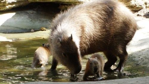 capybara-pups-oxford