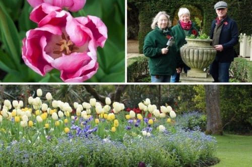 cwp-ucare-tulips